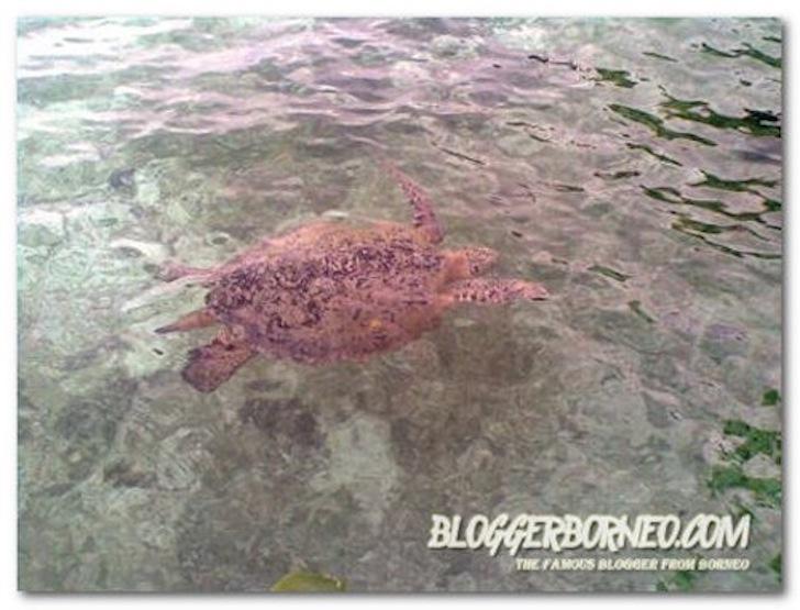 Pulau Derawan Surga Para Penyu Hijau
